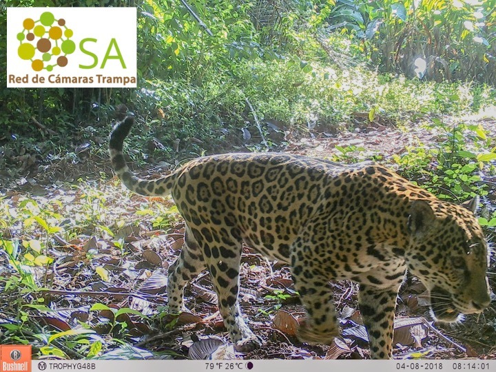Male Jaguar (credit: Osa Camera Trap Network)