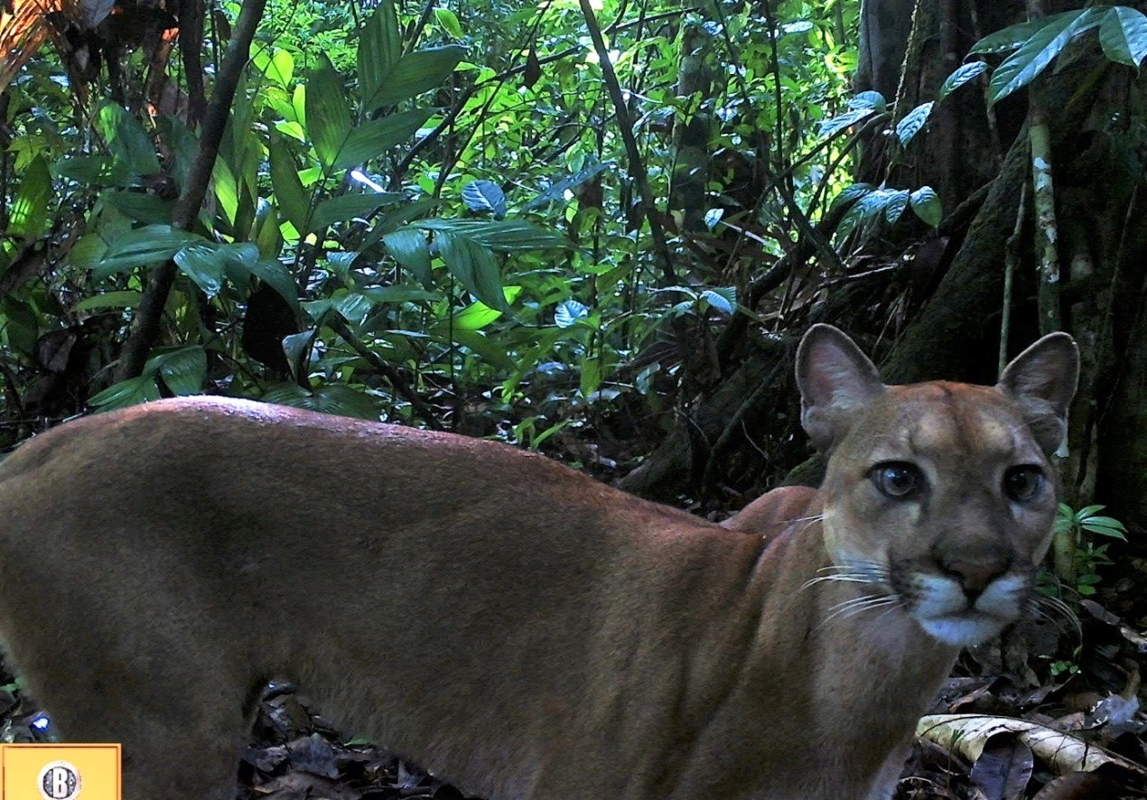 Puma (credit: Osa Camera Trap Network)