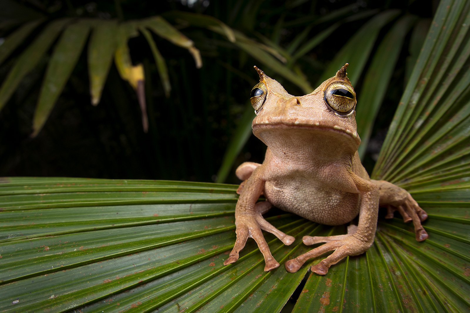 Horned marsupial-frog (credit: Tropical Herping)