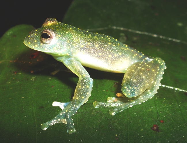 The Endangered mache glass frog.  photo: Fundación Jocotoco