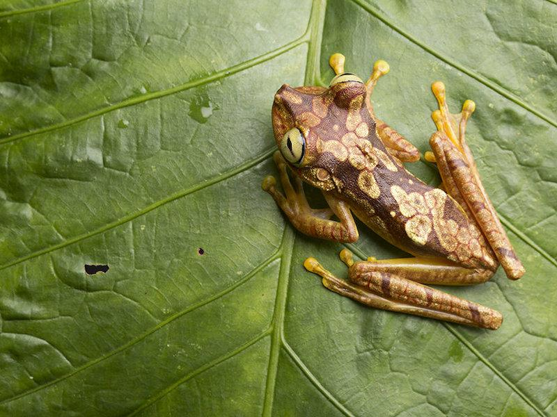 Chachi tree frog {Hyla picturata}