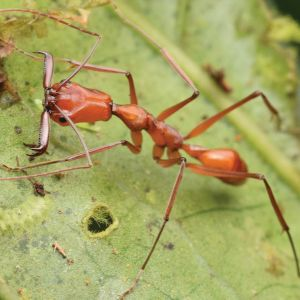 Large-jawed ant
