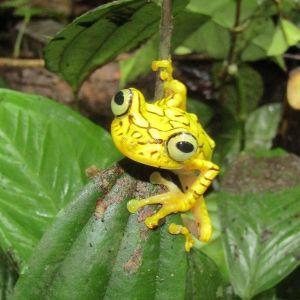 Chachi arboreal frog (Hypsiboas picturatus) by  Jorge Zambrano