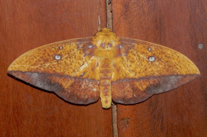 Imperial moth by Efraín Cepeda