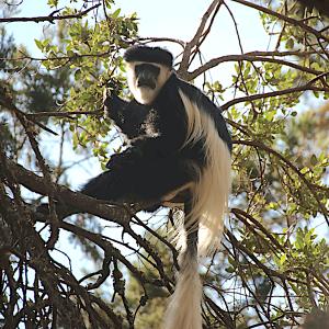 Kijabe monkey harry williams copy