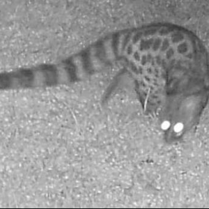 Large-spotted genet copy