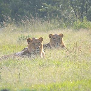 Lion population has rebounded with improved security