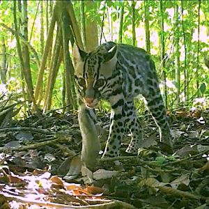 4. a juvenile ocelot caught on camera trap in piedras blancas national park, found moving up the highest ridge line. photo credit amistosa camera trap network (2020) copy