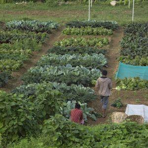 Production at maharahe bio-intensive farm