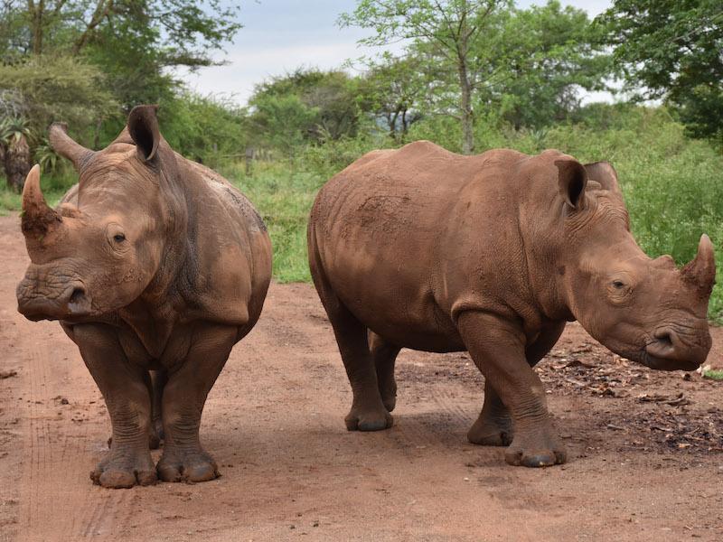 white rhinoceros ceratotherium simum (photo: SRP)