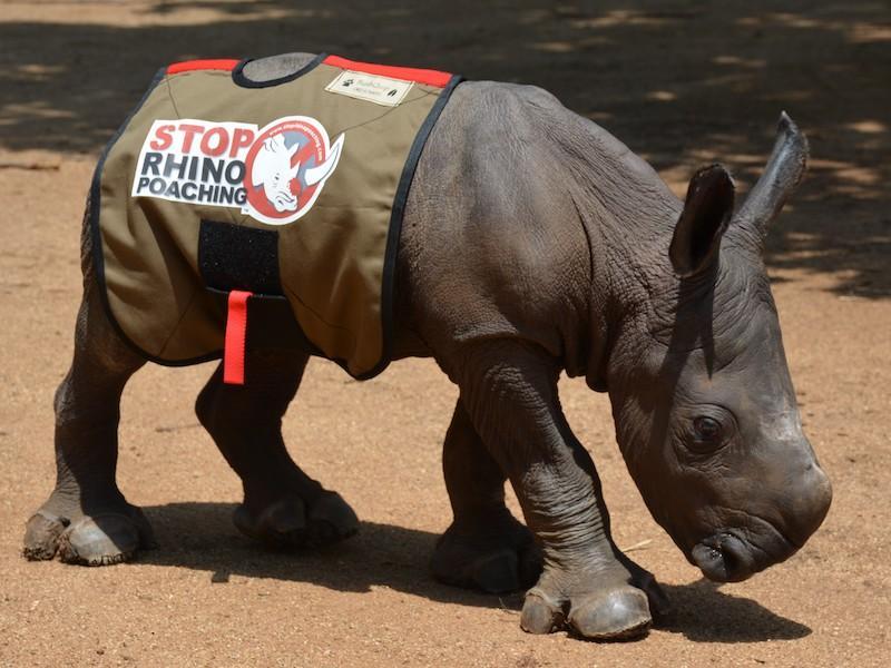 white rhinoceros, Ceratotherium simum (photo: SRP)