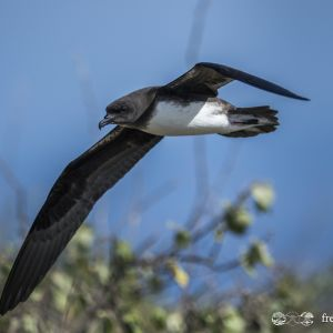 Pterodroma alba flight (Fred Jacq)
