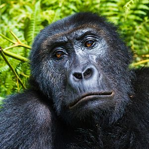 Female grauers gorilla by mike davison