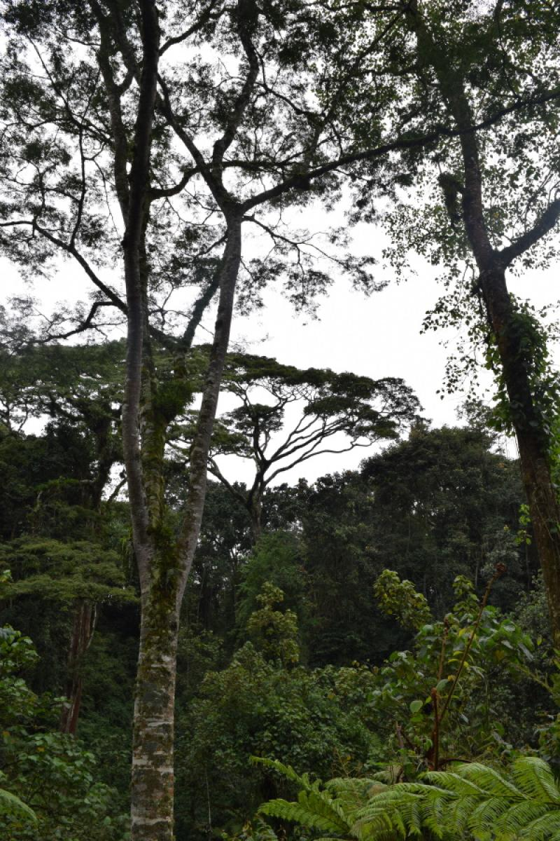 forest used by Grauer's gorilla