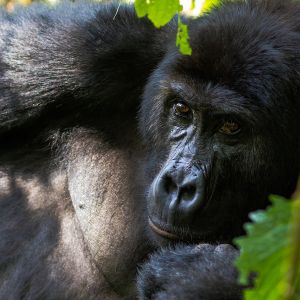 Grauers gorilla by mike davison 1