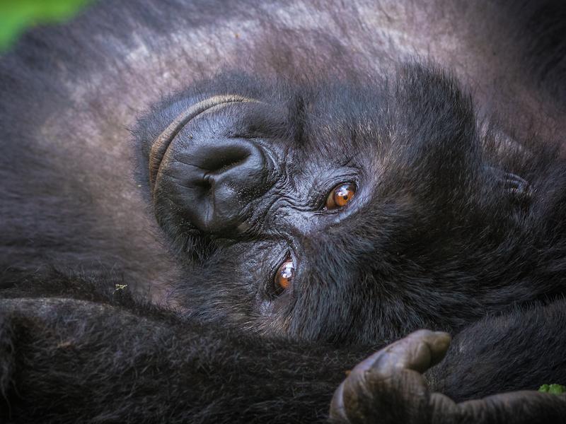 Resting grauers gorilla by mike davison