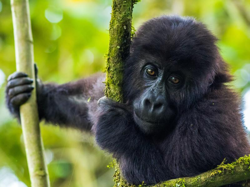 Young grauers gorilla by mike davison