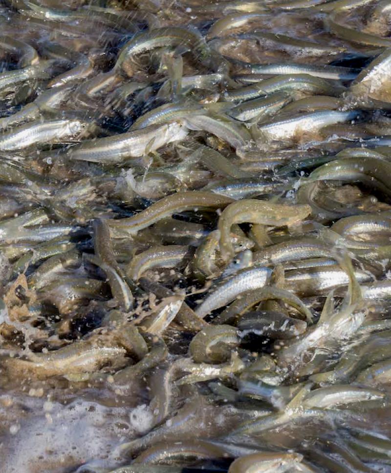 Spawning grunion sardines