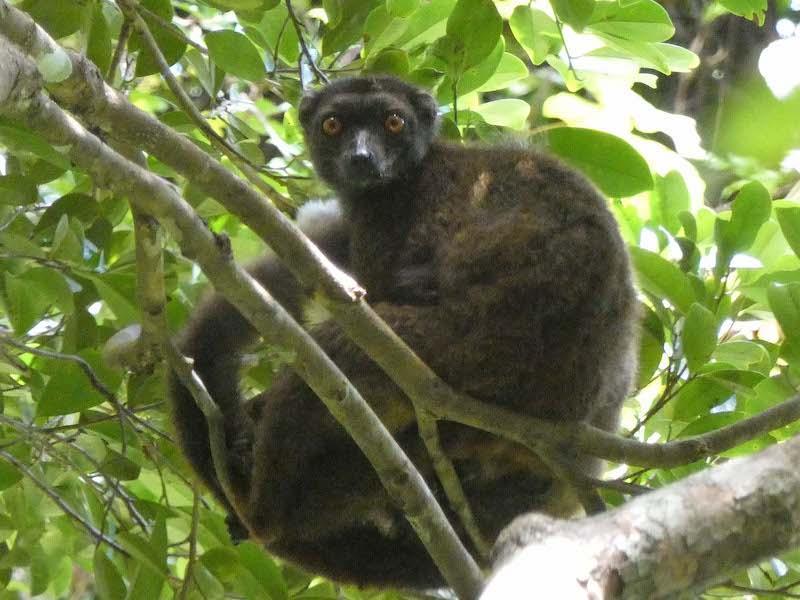 white-fronted brown lemur, female