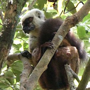 white-fronted brown lemur, male