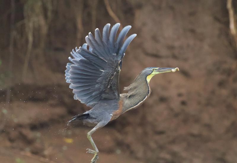 Bare-throated Tiger-Heron (photo: Scott Hecker)