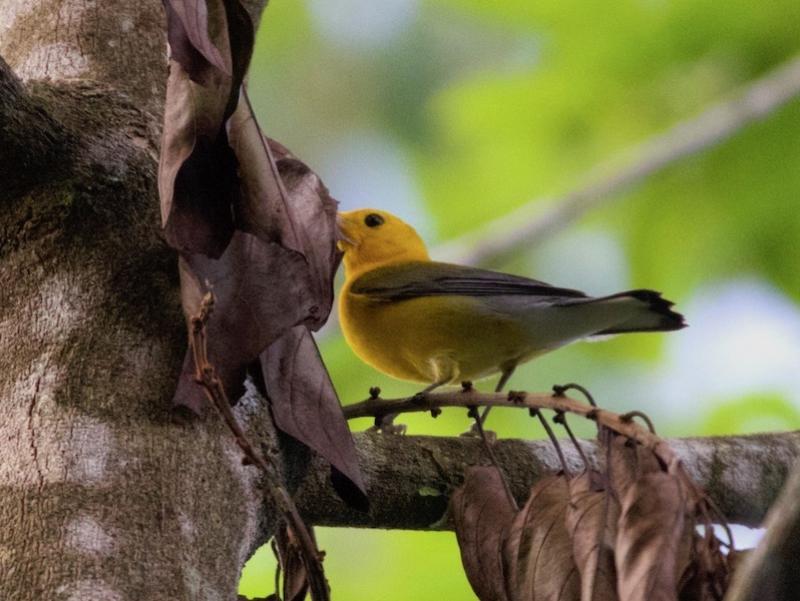 Prothonotary Warbler (photo: Scott Hecker)