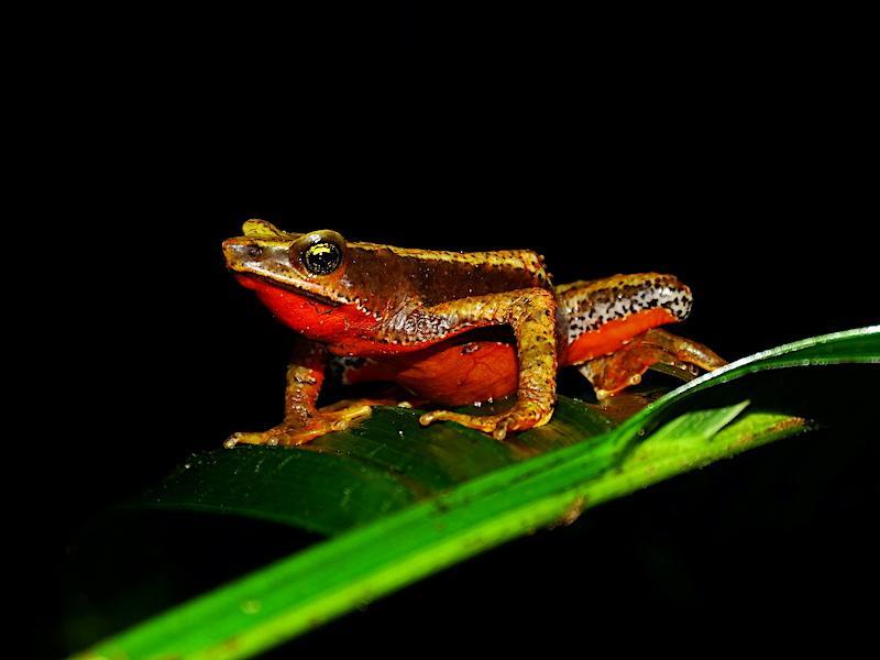 San lorenzo harlequin frog (atelopus nahumae) - credit fundacion atelopus