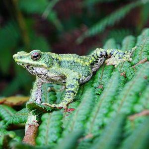 Santa marta harlequin toad (atelopus laetissimus) - credit fundacion atelopus 2