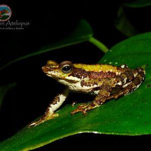 Santa marta harlequin toad (atelopus laetissimus) - credit fundacion atelopus