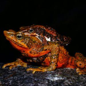 Santa marta harlequin toad in amplexus  (atelopus laetissimus) - credit fundacion atelopus
