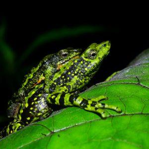 Santa marta harlequin toads in amplexus (atelopus laetissimus) - credit fundacion atelopus
