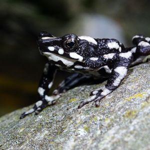 Starry night harlequin toad (atelopus arsyecue) - credit fundacion atelopus 3