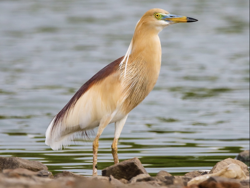 Indian pond heron (by Indranil Bhaattacharjee)
