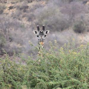 Giraffe - lake kwenia 1 copy