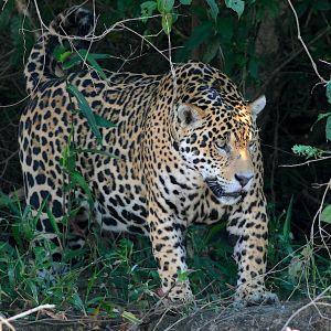 Jaguar on river andrew whittaker