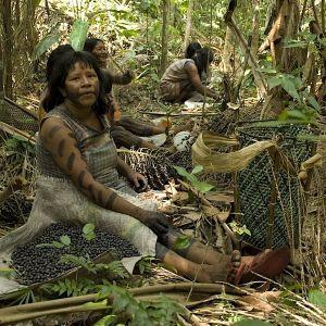 Kayapo collecting acai berries