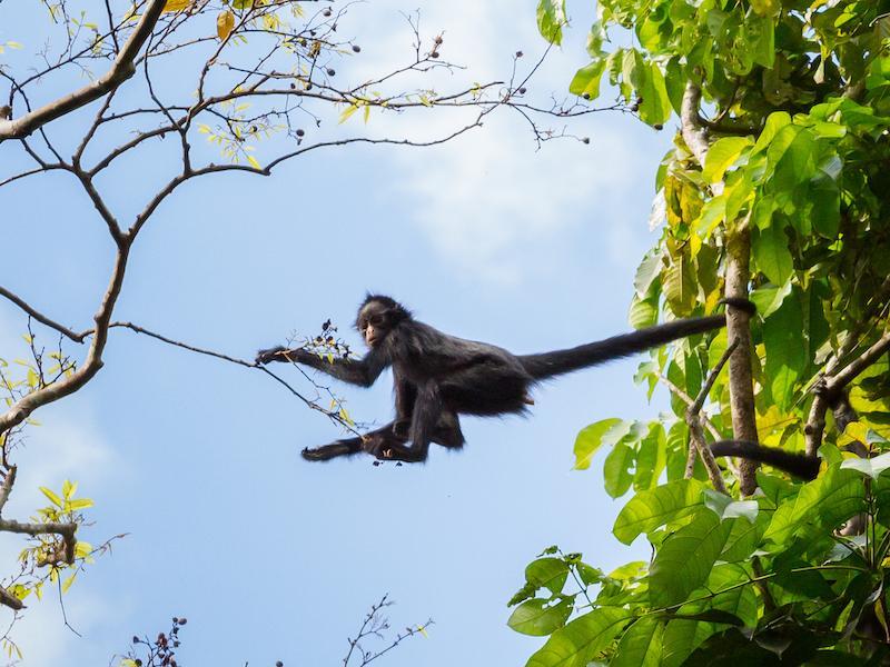 Spider monkey by john meisner