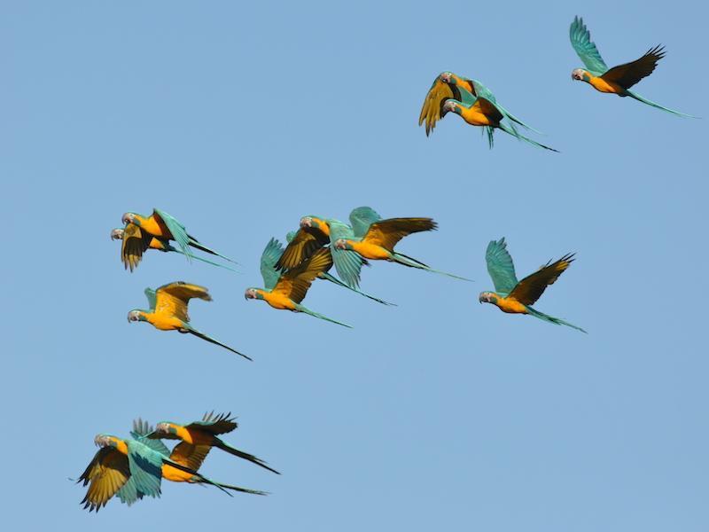 Blue-throated macaws (photo:  S.K. Herzog)