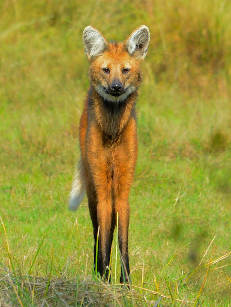 Maned wolf (photo: Fabian Meijer)