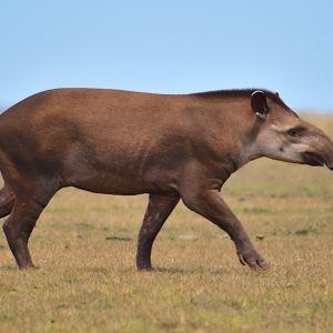 South American tapir (photo: Teodoro Camacho)