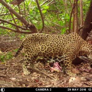Jaguar nancite 2016 luis fonseca lopez