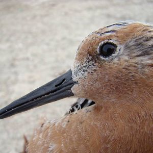 Red knot (photo: Mirta Carbajal)