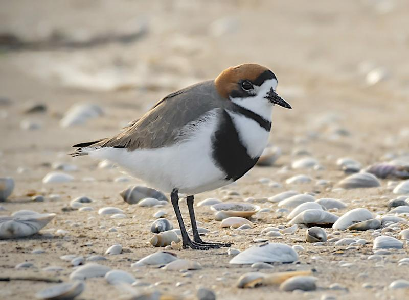 Two-banded plover ( by Fabian Penasco)