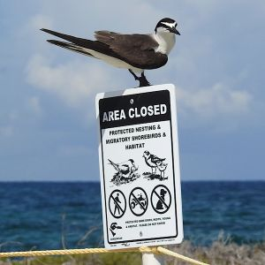 Bridled tern ( by E. Gates)