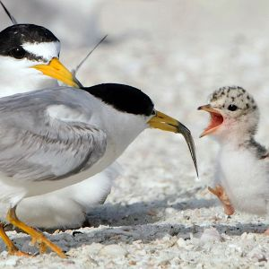 Least terns (by Jim Gray)