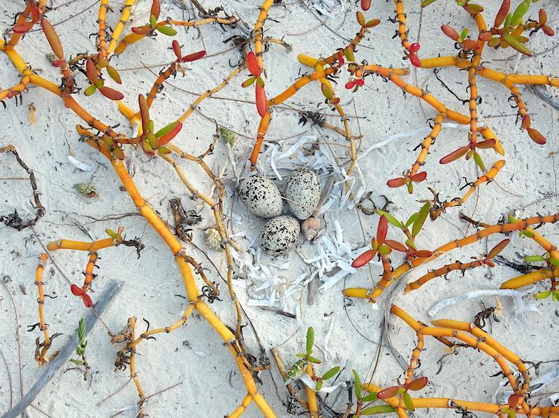 Wilsons plover (photo: Margo Zdravkovic)