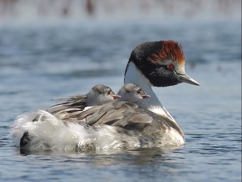 with chicks (photo: Pablo Hernandez)