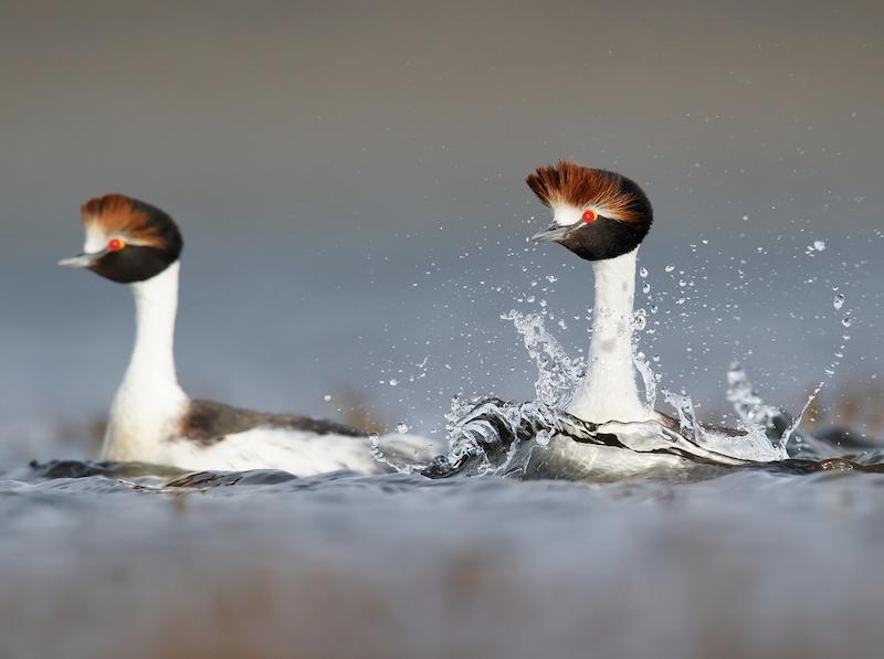 Hooded grebe pair (Daniel Petterssen)