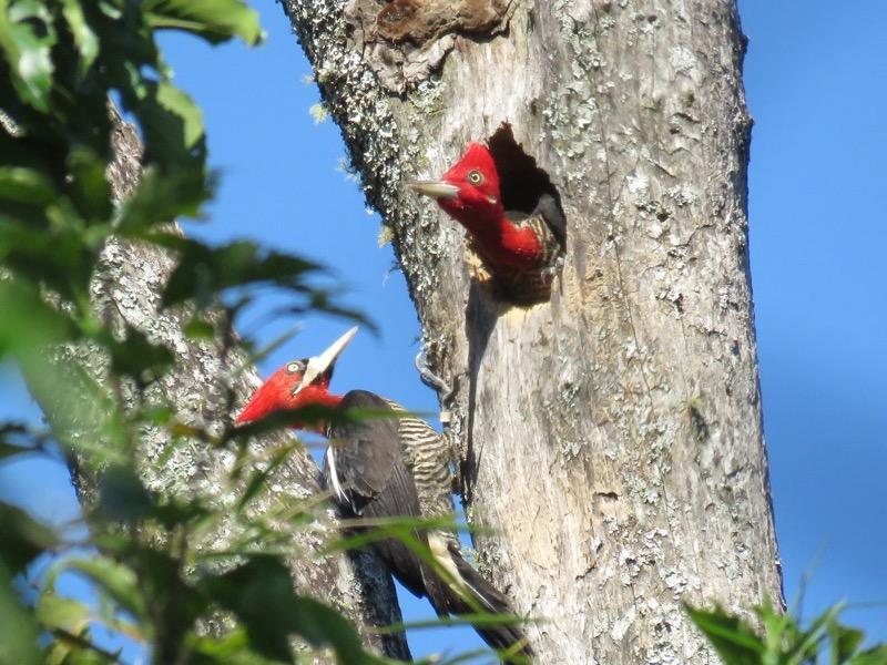Robust woodpeckers at nest cavity (credit: Carlos Ferreyra)