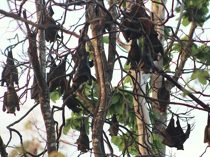 Fruit bats roosting at Tangkuladi